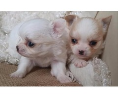 Long Haired Teacup Chihuahua Puppies