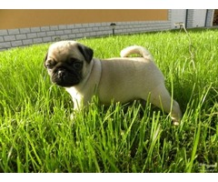 Available Male and Female Pug puppies for sale