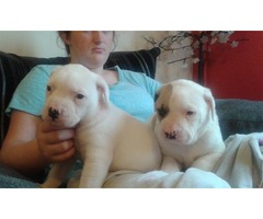 2 beautifull american bulldog puppys looking for a lovely home