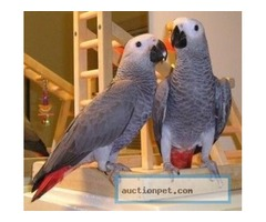 2African Grey Parrots for adoption