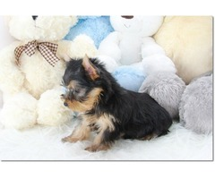 Pretty T-Cup Yorkie Puppies