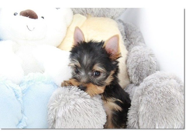 Yorkshire Terrier Puppies Available | free-classifieds-usa.com