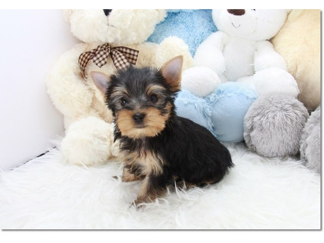 Affectionate Yorkie Puppies Available | free-classifieds-usa.com