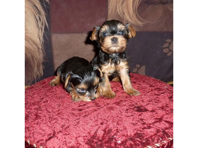 Charlie Our Male Parti-Carrier Teacup Yorkie - Animals ...