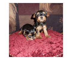 Charlie Our Male Parti-Carrier Teacup Yorkie