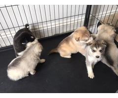 Beautiful Husky Pups For Sale.