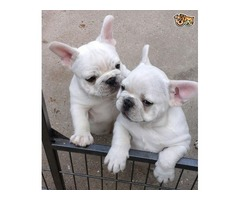Triple support French Bulldog Up For Stud public