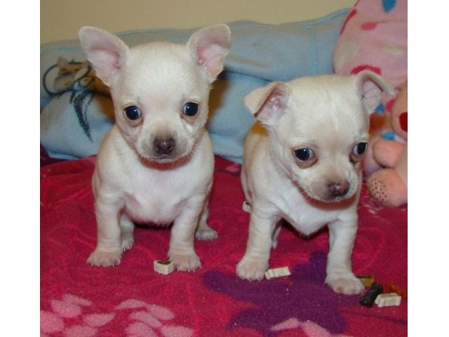 2 T'cup chihuahua puppies available for your home - Animals