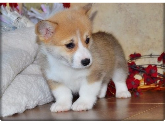 Pembroke welsh corgi puppies for good home - Animals - Clayton