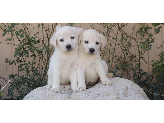 Labrador Retriever Puppies Ready To Go Animals Santa Rosa Beach
