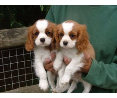 Beautiful Cavalier King Charles Spaniel puppies