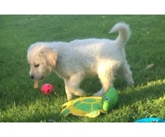 We have three little boys/girls golden retriever puppies
