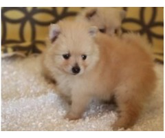 We have three little boys/girls pomeranian puppies