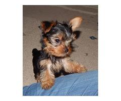 Purebred Yorkshire Terrier puppie's