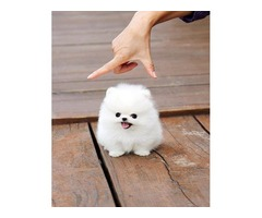 Admirable Pomeranian Puppy