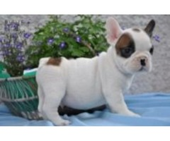 Awesome French Bulldog Puppies