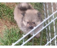 Pomeranian good with kids