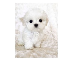 Potty Trained Teacup Maltese Puppies Now Available