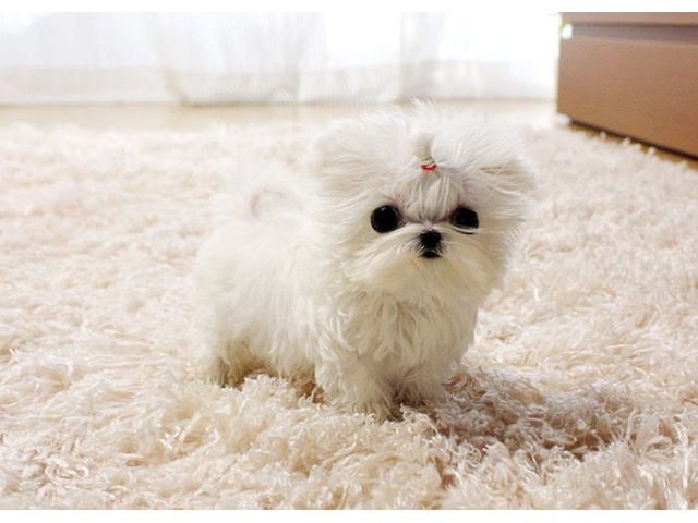 Charming Akc Healthy Teacup Maltese Puppies For Adoption Animals