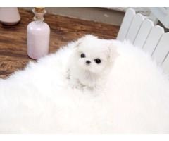 Adorable Male/Female Teacup Maltese  Puppies Available