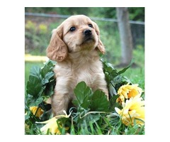 Beautiful Goldendoodle Puppies Ready Soon!!