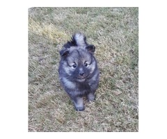 7 Weeks Old Keeshond Puppies For Sale
