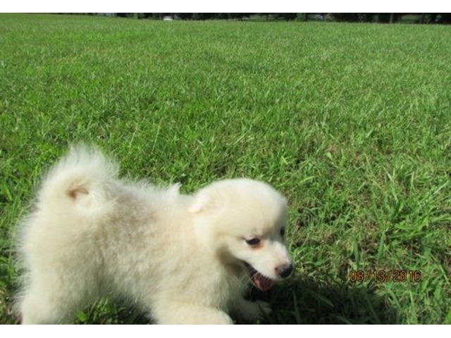 Ckc American Eskimo Puppies For Sale Animals Colorado Springs