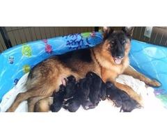 German Shepherd Dog Puppies Ready Soon !!