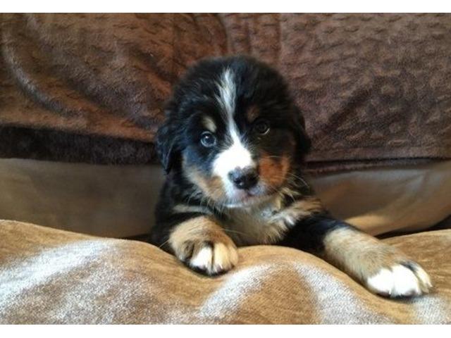 bernese mountain dog puppies oregon