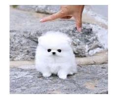 Ice White Tea Cup Pomeranian Puppies