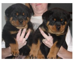 Good looking Rottweiler Puppies for adoption