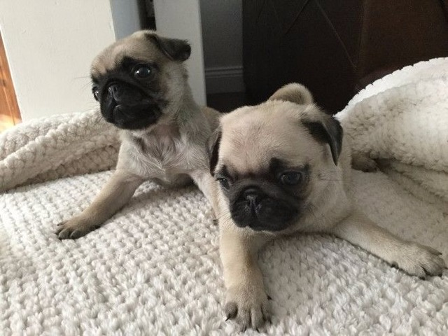 Two Pure Pug Puppies For Homes | free-classifieds-usa.com