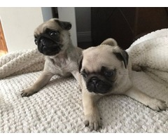 Two Pure Pug Puppies For Homes