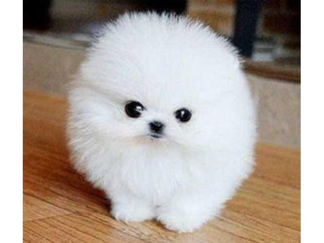 teacup white pomeranian puppy for sale home trained white micro tiny teacup pomeranian puppies 6837