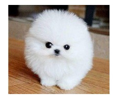 Home Trained White Micro Tiny Teacup Pomeranian Puppies