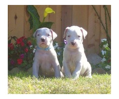 Dogo Argentino Puppies for Re-homing