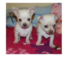 3 T'cup Chihuahua puppies available for your home