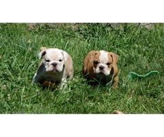 Pure Bred And Healthy English Bulldog Puppies