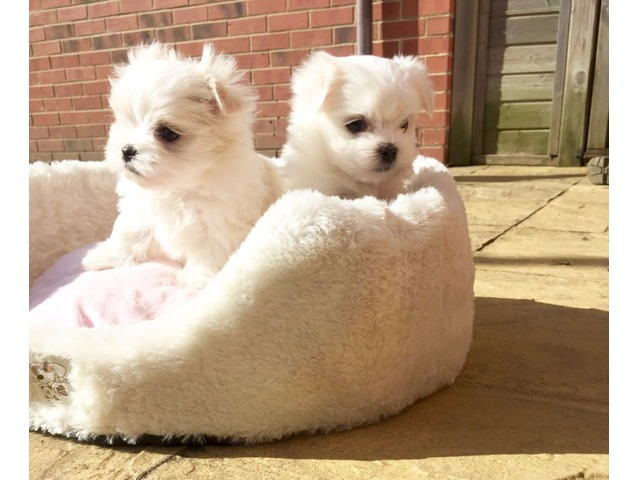 Adorable Male And Female Maltese Puppies For Sale Animals Pipe