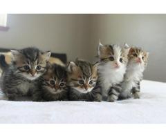 Siberian kittens available