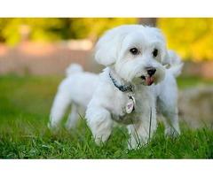 Splendid Maltese Puppies