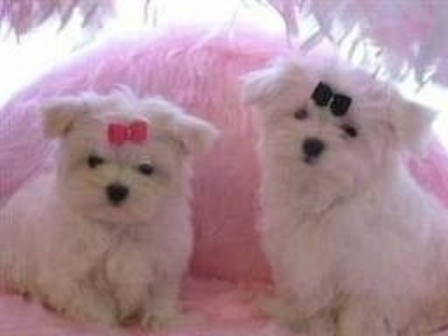 Black Nose Maltese Puppies For Adoption