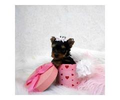 Adorable AKC Yorkie Puppy