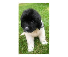 Registered Newfoundland Puppies