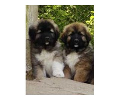 Adorable Caucasian puppies ready to go