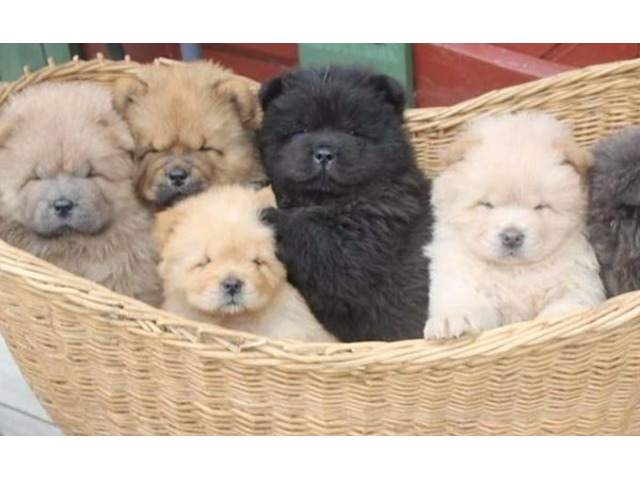 Charming Males And Females Chow Chow Puppies For Sale Now Animals