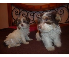 Yorkshire terrier puppies 1 male and female to adoptio