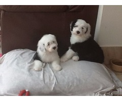 Kc Malolgi Old English Sheep Dog Puppies