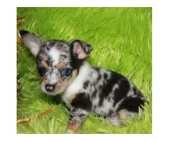 Healthy Chihuahua Puppies for sale