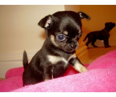 CkC chihuahua Puppies - Male & Female